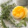 「黄色のバラが、ポチッと咲き始めました」