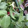 春雨やサヤエンドウの葉に玉となり(美味そう♪字余り)
