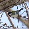 野鳥日記 2020年2月13日 野幌森林公園