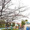 トゥーンの河津桜の開花状況は?