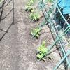 夏野菜ゴーヤ、トウモロコシ苗植え終了、キュウリ1本枯れた