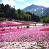 夢のような『芝桜の絨毯』@ 秩父 羊山公園