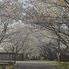 手賀沼の桜並木を歩いてライトアップも見て来ました