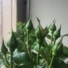 つぼみの季節