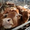 韓国「AI→ブルセラ→、口蹄疫→ブルセラ...うんざりな家畜伝染病」