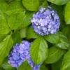 雨の紫陽花。