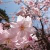 徳佐しだれ桜②