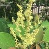 先駆種アカメガシワの花