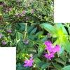 クフェア:園芸店をのぞく方々以外はなじみの無い花かもしれませんが,わが庭で最も長く咲いている花.寒くなってきたのにまだ元気です.ネット上の画像と比較してたどり着いた種名はメキシコクサヤナギ.メキシカンヒースとも呼ばれているそうで,荒野にも咲きそうで強そうな別名ですね.ミソハギ科の植物ですからサルスベリと近縁?