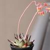 花芽のエケベリア達