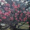 梅を見に行った
