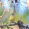 珍しいカラ類の小鳥