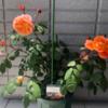 【庭】その後のエマ