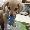 子犬にコングは何か月から使う?しつけに使ったり、おやつを詰めれば夢中になるのでお留守番に最適。でも注意することもありますよ。