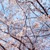 桜を見に鶴舞公園を散歩してきた!