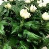 日本の国花の1つ、菊について。電照菊とは一体何?