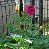 やっと咲き出した芍薬の花!