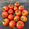 トマト芯切り&収穫!!