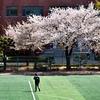 ヨイド・漢江公園の桜... ソウルも桜が咲き、散りました。