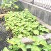 今年も庭に大量に茂る大葉の消費に簡単大葉味噌を作りました