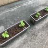 春野菜〜プランター栽培〜 その2