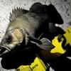 神栖市 波崎漁港にてサビキ&ソフトワームで釣りした釣果