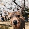 予定詳細:3/30(火)、4/6(火)|ゴロゴロゴロ+お花見【奈良市】
