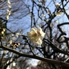 都内有数の梅の名所!「羽根木公園」(東京都世田谷区)とは?