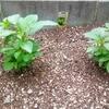栄養価の高いモロヘイヤで暑い夏を乗り切る!苗から育ててみる