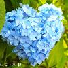 1万本の紫陽花が咲く三室戸寺に恋が叶うハート探しに行こう