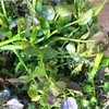 世界一位に輝いた野菜「クレソン」その最強といわれる栄養価と効果とは