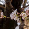 桜が咲けば、雨が降る・・