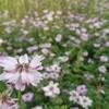 ジョギングで季節の花を愛でる ~綾野のレンゲソウ~
