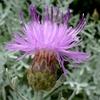ピンクダスティミラー 花