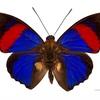 世界三大美蝶って何?