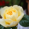 バラの鉢栽培を究めたい。