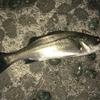 釣魚調査レポートNo.3 スズキについて『論文』から学んでみた!