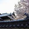 奈良町周縁 桜/満開になってもひっそりと。花の華やぎがいっそう引き立っています。