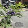 熱海の「ジャカランダ祭り」