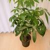 【観葉植物】パキラ7号の水やり頻度について 「一人暮らし」向けパキラの育て方