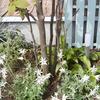 フランネルフラワーを鉢植えに