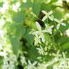 センニンソウ、仙人草、Clematis terniflora