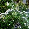 庭のコデマリ(小手毬)