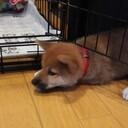 うちの犬 ~初めての柴犬生活~