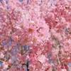 桜が散る前に*酸素ボンベ担いでお散歩!笑