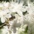 北高上緑地でサワフタギの花が見ごろを迎えました。白いレースのベールをまとったような美しい景観が初夏の訪れを告げています。