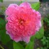 こんな花でも香りは健在