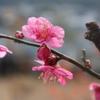 紅梅の花、早過ぎ!?