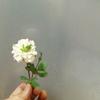 御花の奇形(突然変異)