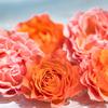今年の新しいバラ